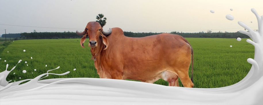 Why There is Demand of Desi Cow Milk in India
