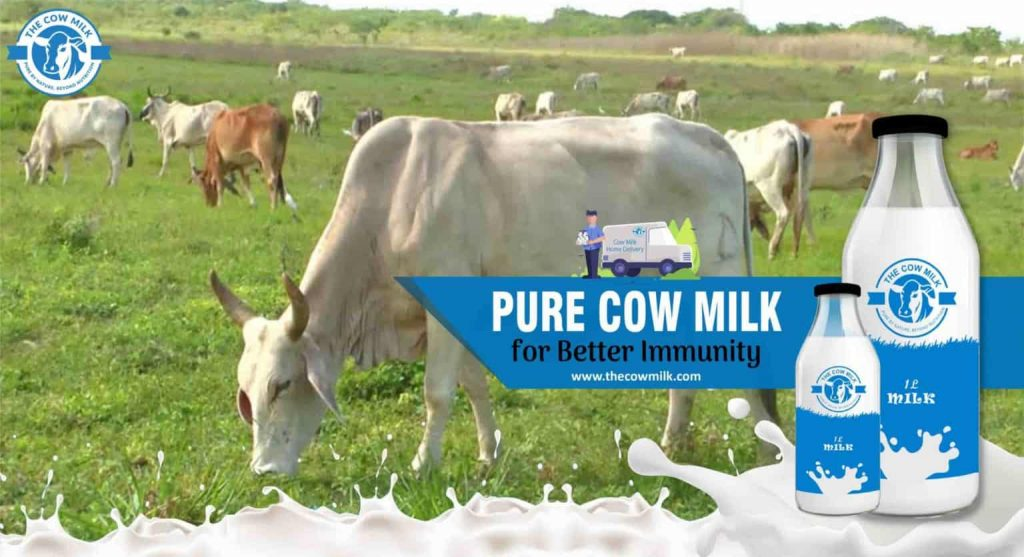 Pure Cow Milk for Better Immunity